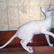 Котики корниш рекс, из питомника в Краснодаре. фото