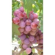Саженцы и черенки винограда из саратова фото