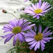 Семена цветов брахикома фото