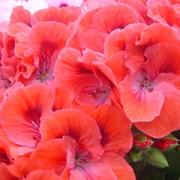 Укорененные Черенки Пеларгонии (Pelargonium) фото