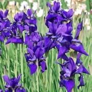 Ирис сибирский (Iris sibirica L) Dark violet. Многолетние растения. фото
