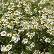 Ромашка цветки фото