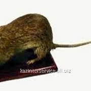 Чучело Суслик (крыса) фото