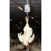 Ручные весы для птицы фото