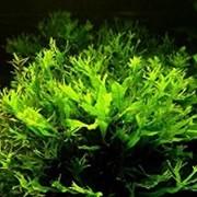 Аквариумное растение Папоротник роголистный фото