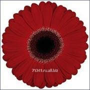 Срезанный цветок Гербера Antibes фото