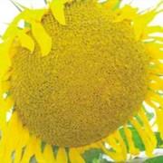Семена подсолнечника посевные, гибрид МАНЕТУ фото