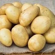 Картофель Лаперла фото