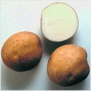 Картофель сорт Лазурит 1 РС фото
