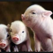 Комбикорма для свиней, концентраты для свиней, добавки для свиней фото