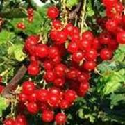 Малина оптом и в розницу, Малина от производителя, Малина Луганская область, Малина на экспорт фото