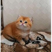 Британский котик золотого окраса фото