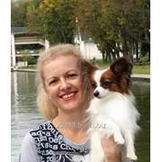 Собака породы папийон – папильен, собака-бабочка, той спаниель. фото
