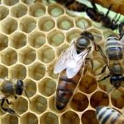 Пчелиные матки фото