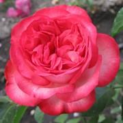 Розы наложенным платежем. фото