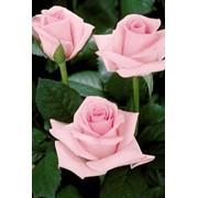 Розы Акито Блашинг фото