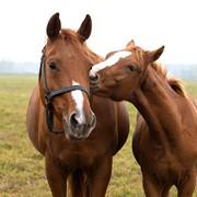 Лошади беговые в Казахстане фото