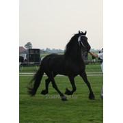 Фризская лошадь 168 см 4 года выставочная фото