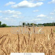 Зерновая культура пшеница фото