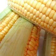 Кукурудза гибридная ДЕЛЬФІН Euralis semances фото