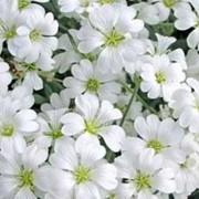 Ясколка войлочная (Cerastium tomentosum) фото