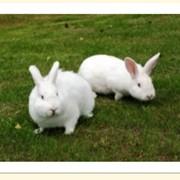 Кролики Новозеландские белые фото