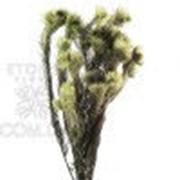 Филисинс зеленый серый фото