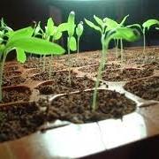 Выращивание и продажа кассетной рассады овощей - помидор, перец, капуста, баклажан (на 2014 год). фото