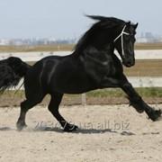 Фризская лошадь 4 года - 166 см фото
