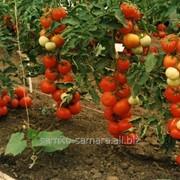 Семена томатов Фаталист F1 фото