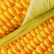 Кукуруза обыкновенная фото