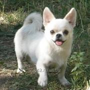 Вязка собак породы чихуахуа фото