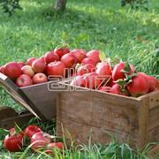 Закупка яблок фото