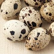 Яйца перепелиные порода Фараон фото
