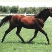 Лошади племенные Armbro Goal фото