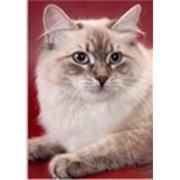 Невские маскарадные коты фото
