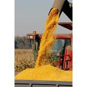 Хранение кукурузы фото