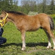 Уэльский пони Турмалин фото