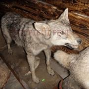 Чучело волка, купить чучело в Украине фото