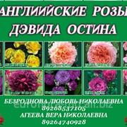 Английские розы Дэвида Остина 10 сортов фото