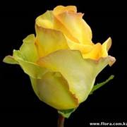 Роза Deja vu_1 фото