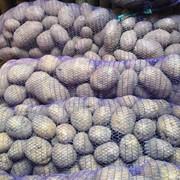 Семенной картофель Импала фото