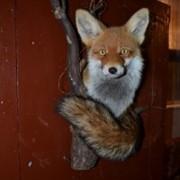 Чучело лисы купить фото