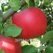 Саженцы яблонь Ауксис фото