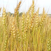 Закупка зерновых культур фото