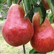 Puieti de pomi fructiferi pere фото