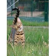 Кошка бенгальская фото