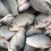 Рыба пресноводная фото