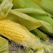 Кукуруза фуражная в Молдове фото