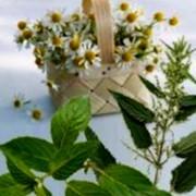 Заготовка сырья. Заготовки лекарственного сырья, овощных и дикорастущих культур Западная Украины фото
